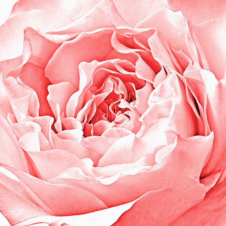 MoraccanRose-Botanical Photography- © Aristo Studios