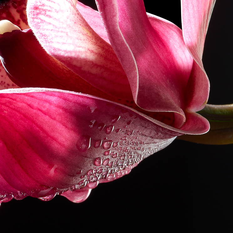 Orchid-Botanical Photography- © Aristo Studios