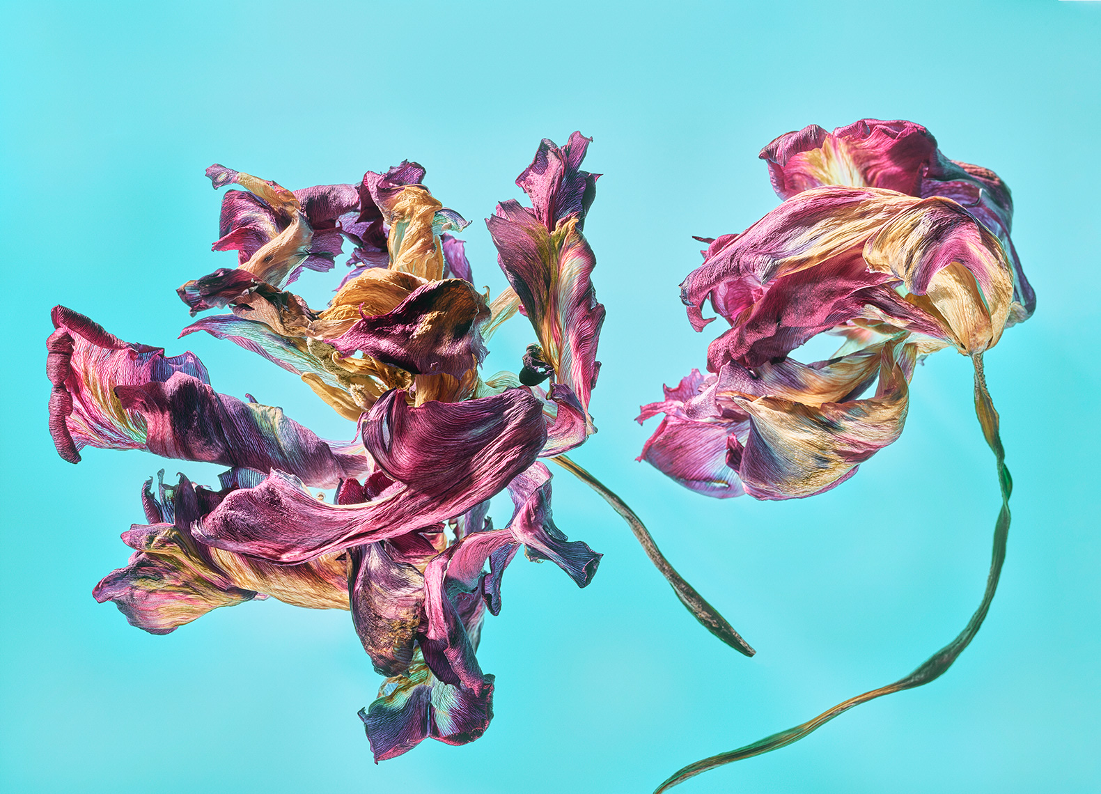 2 Purple Dry Tulips-Botanical Photography- © Aristo Studios