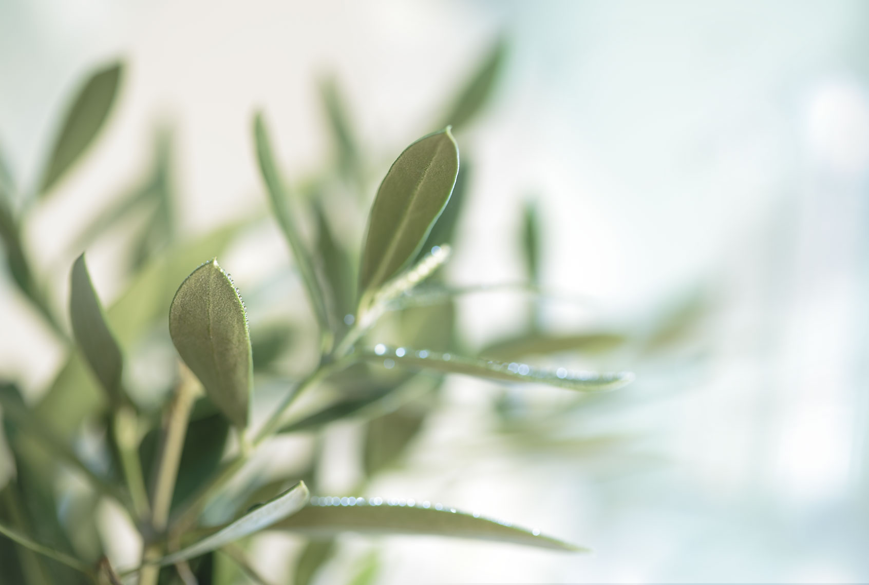 Olive Leaves-Botanical Photography- © Aristo Studios
