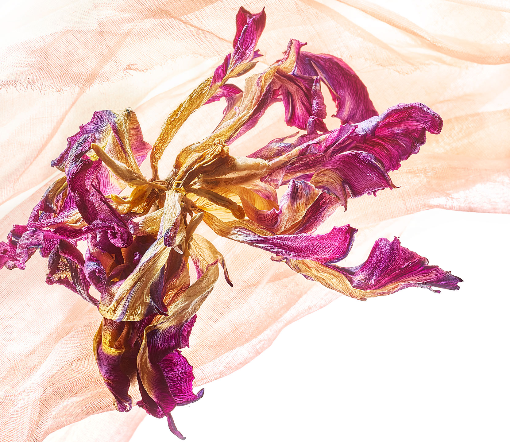 Purple Dry Tulip-Botanical Photography- © Aristo Studios