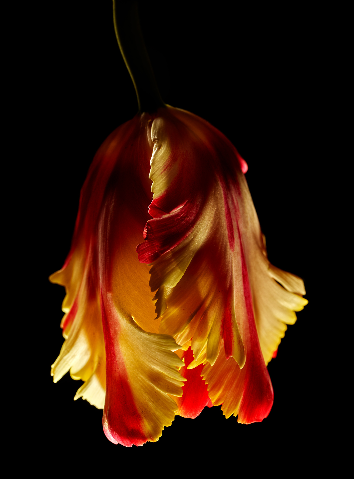Upside Down Orange Tulip-Botanical Photography- © Aristo Studios
