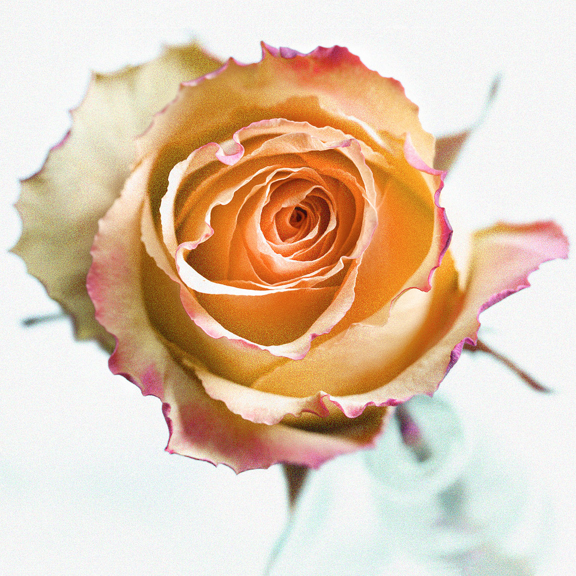 Orange Rose-Botanical Photography- © Aristo Studios