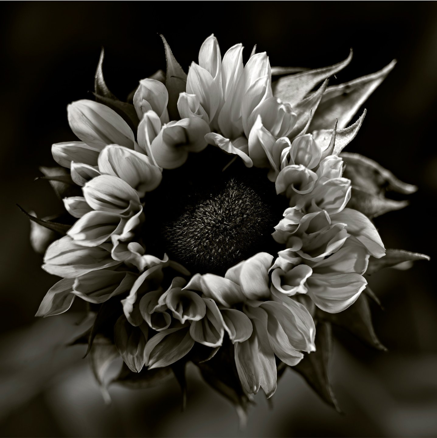Sunflower Black & White-Botanical Photography- © Aristo Studios
